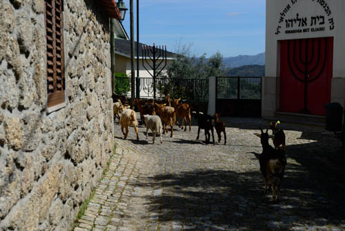 Goats in Belmonte
