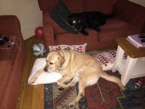 Displacement activity for labradors...