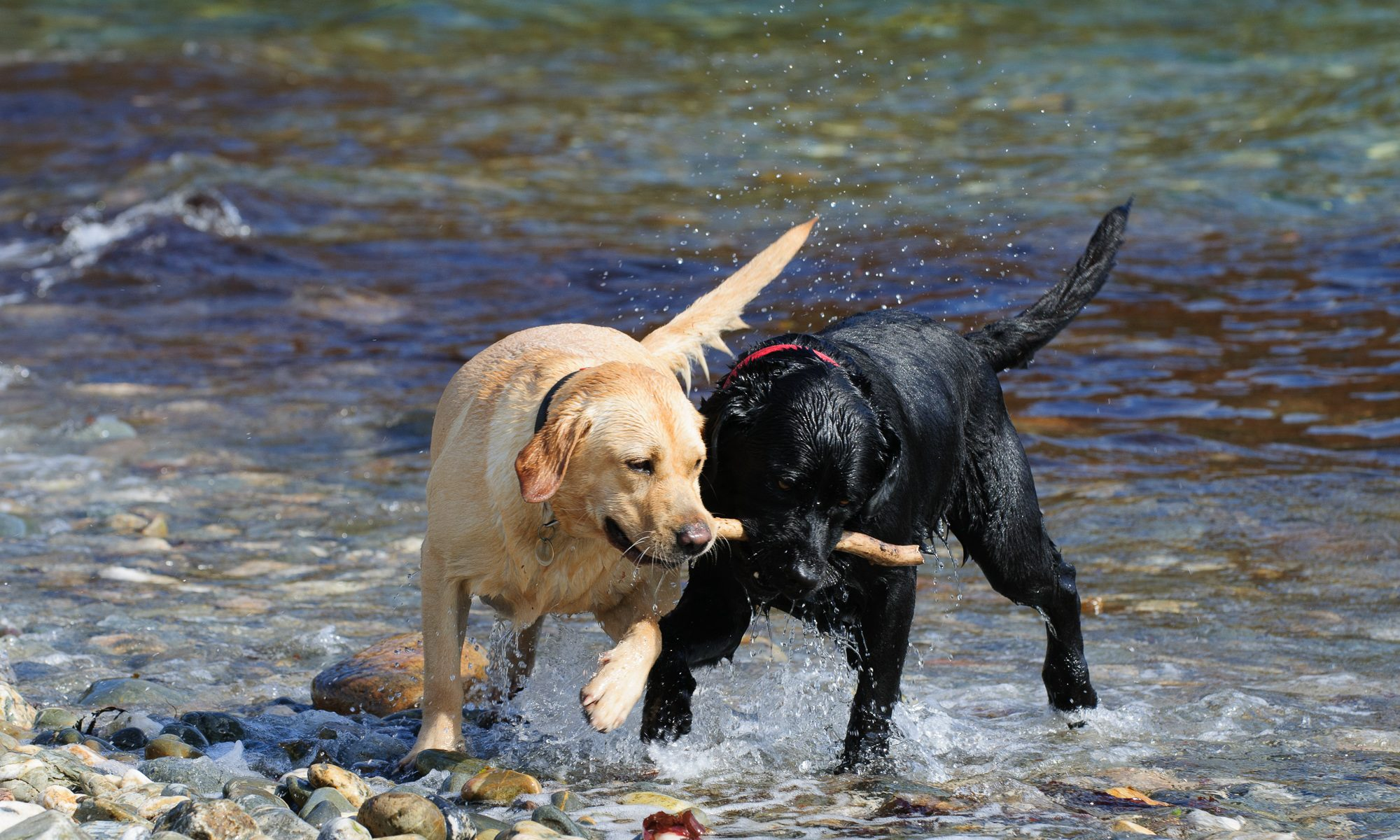 Stars of Blogging with Labradors