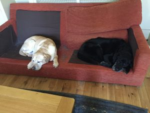 Time management demonstrated by labradors